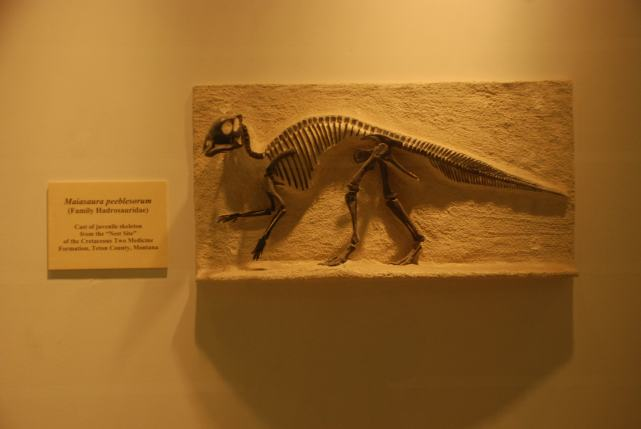 "Cast of a ""Maiasaura peeblesorum"" from the Cretaceous period found in the VLSB at UC Berkeley."